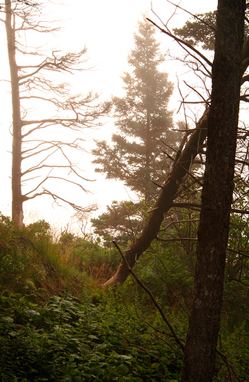 Maine Foggy Pine